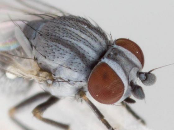 adult - Leucopis americana