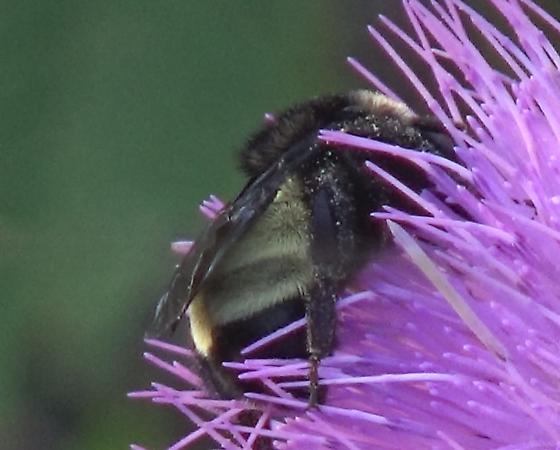 Bumble Bee on Tall Thistle - Bombus pensylvanicus