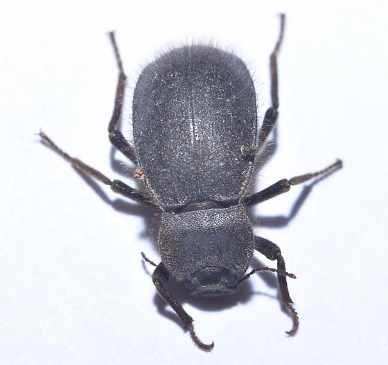 Thick-bodied Beetle - Stenomorpha