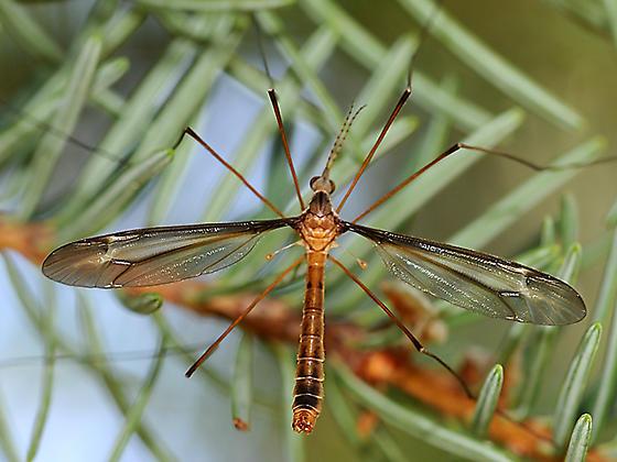 Crane fly on pine - Tipula