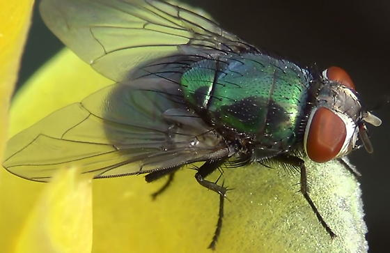 Green Blow Fly Close Ups (wings) - Lucilia mexicana - female