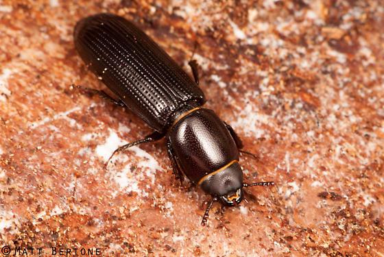 bark gnawing beetle - Airora cylindrica