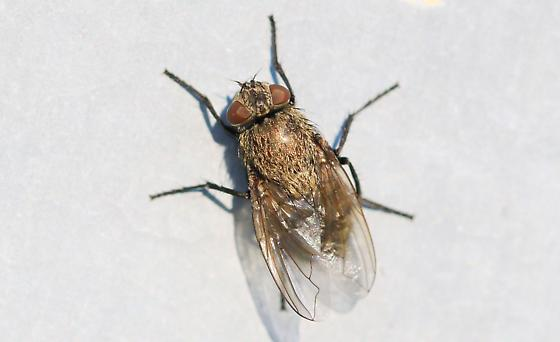 furry brown fly - Pollenia