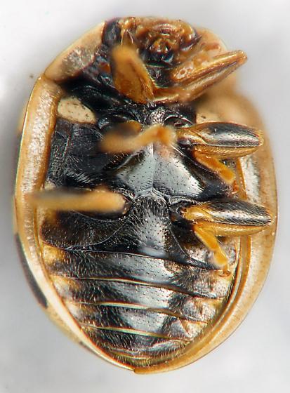 Propylea quatuordecimpunctata  - Propylea quatuordecimpunctata