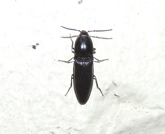 Black Click Beetle sp?