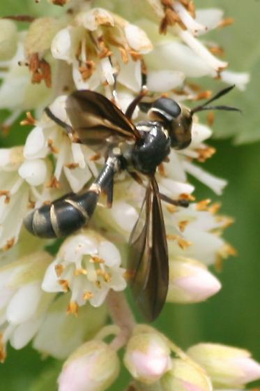 Wasp-Mimic Fly? - Physoconops brachyrhynchus