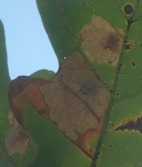 St. Andrews leaf miner on Quercus alba SA1210 2017 3 - Tischeria quercitella