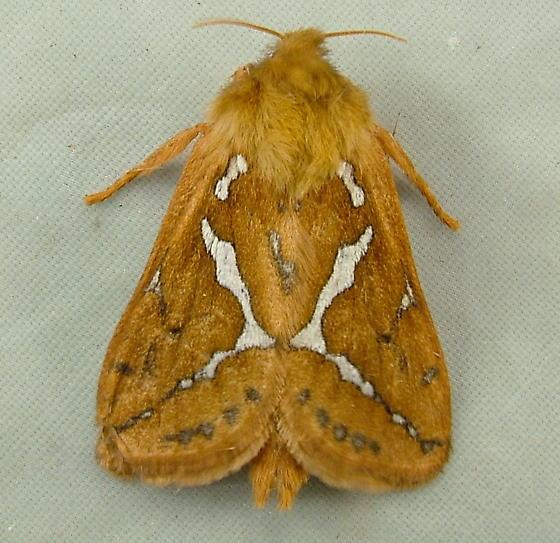1621 Gazoryctra mathewi - Ghost Moth 0028 - Gazoryctra mathewi
