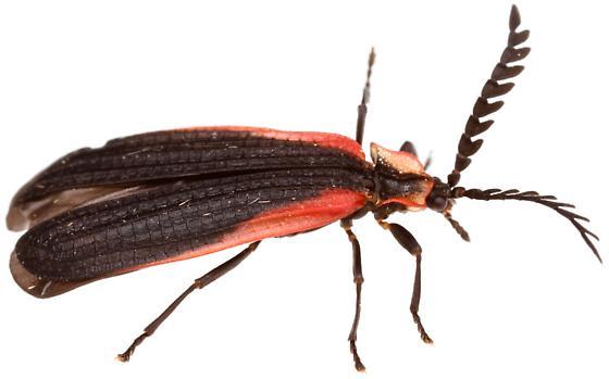 Female, Leptoceletes basalis? - Caenia amplicornis
