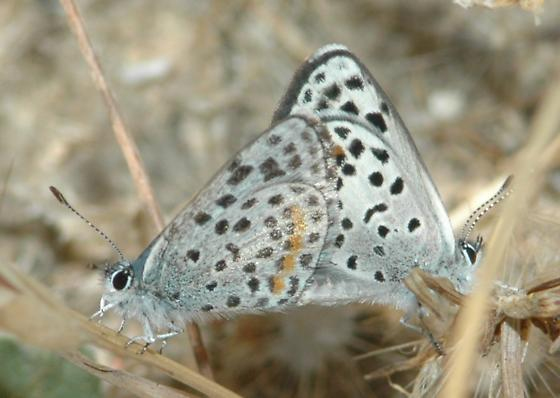 Square Spotted Blue Mating Pair - Euphilotes bernardino - male - female