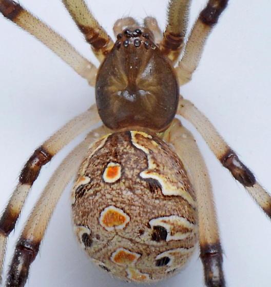 Latrodectus geometricus - female