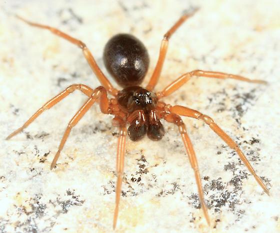 Dwarf Spider - Hybauchenidium cymbadentatum - male
