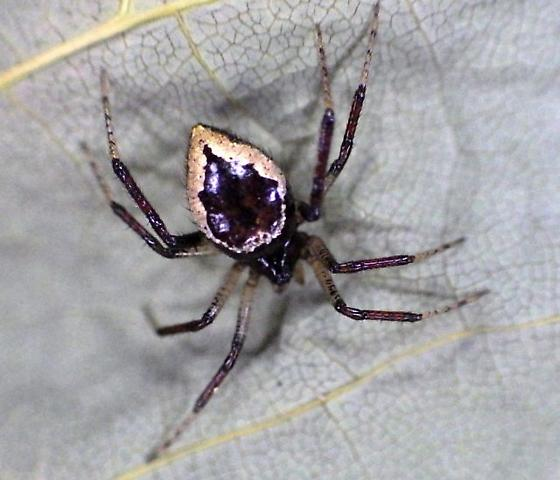 a spider for Lynnette - Euryopis formosa