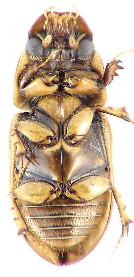 Aphodius lividus/pseudolividus? - Aphodius lividus