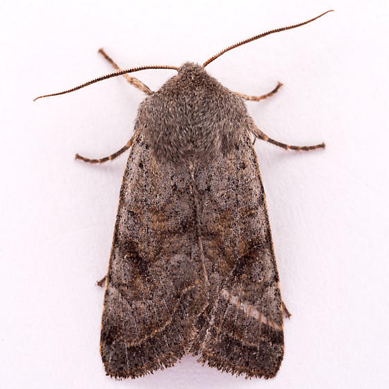 unknown Noctuid - Orthosia hibisci