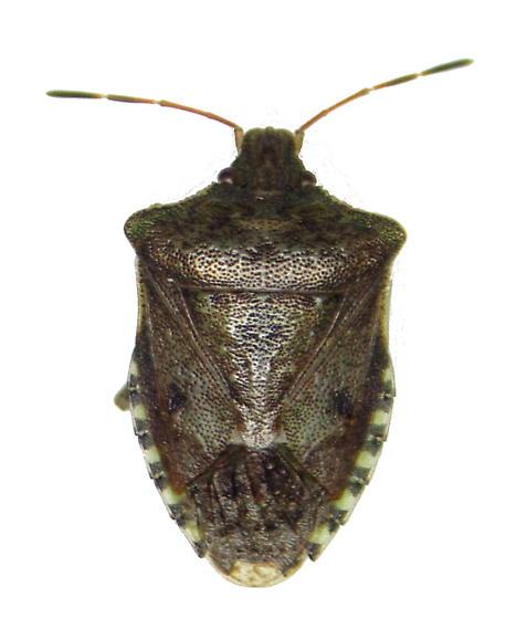 Euschistus tristigmus luridus - Euschistus tristigmus - female