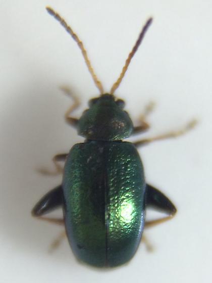 Phyllotreta chalybeipennis