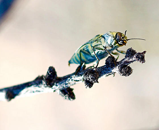 Desert Beetle ID - Gyascutus planicosta