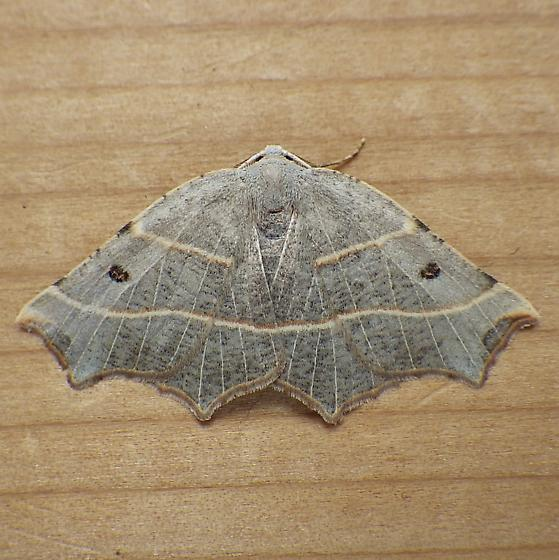 Geometridae: Metanema inatomaria - Metanema inatomaria