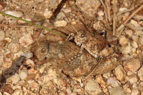Grasshopper - Phrynotettix tshivavensis - male - female