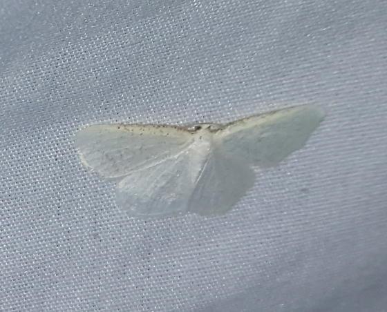 Virgin Moth?