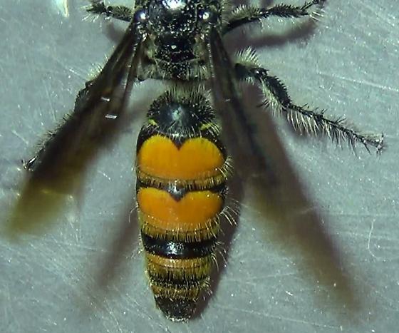 Desert Wasp - Dielis tolteca - female