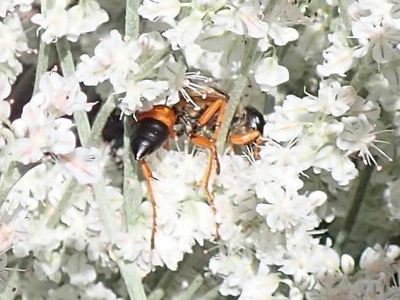 Andrena prima? - Sphex ichneumoneus