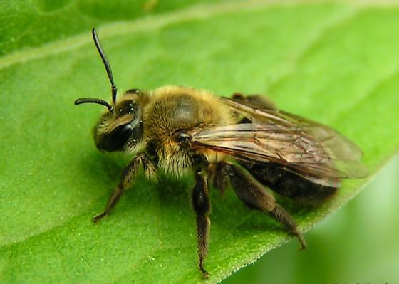 Mining Bee - Andrena vicina - female