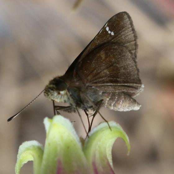 Grass Skipper on Clematis viorna - Lerema accius - female