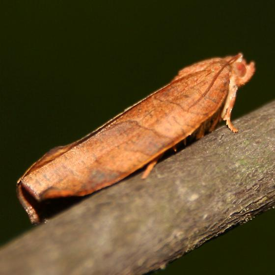 Leafroller Moth - Right Lateral - Choristoneura obsoletana