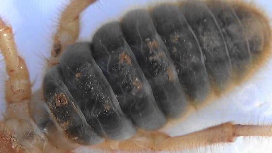 Large Desert Solifugid (dorsal abdomen) - Eremorhax - female