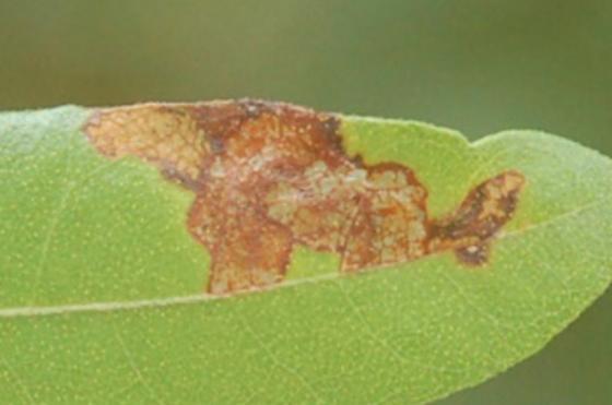 St. Andrews Leaf chewer on Morella cerifera SA1107 Acrobasis-like larva 2017 2 - Acrobasis cirroferella