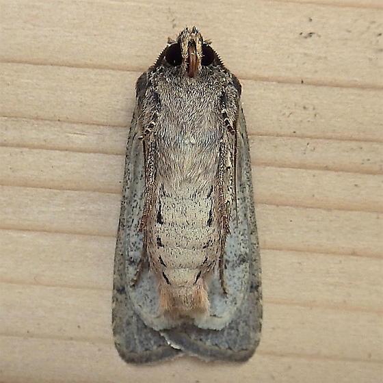 Noctuidae: Euxoa infausta - Euxoa infausta