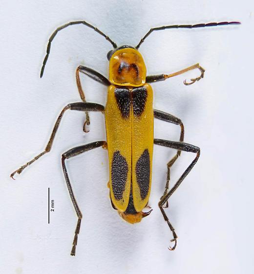 Chauliognathus? - Chauliognathus omissus