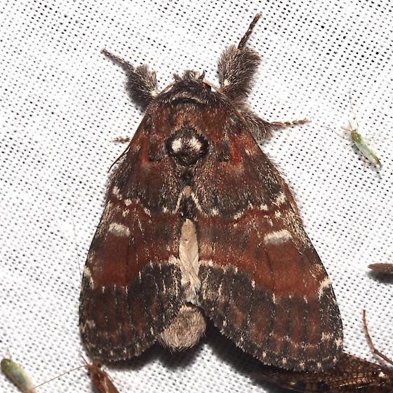 Chocolate Prominent - Hodges#7921 - Peridea ferruginea