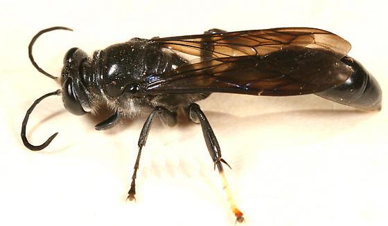 black wasp - Trypoxylon lactitarse