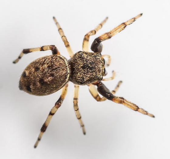 Zygoballus nervosus ? - Zygoballus rufipes - female