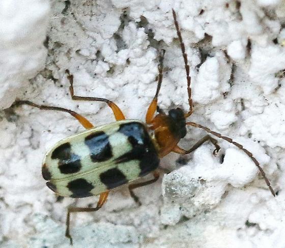 similar Cucumber Beetle - Paranapiacaba tricincta
