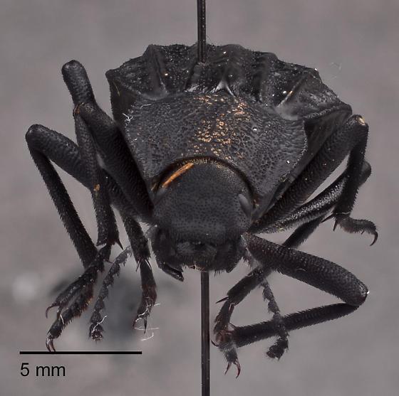Tenebrionidae 4 - Philolithus sordidus