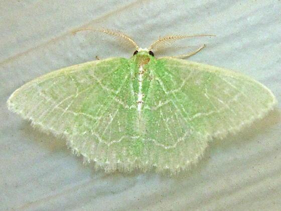 Coptotriche citrinipennella - Hodges  #0126 (Coptotriche citrinipennella) - Synchlora aerata - male