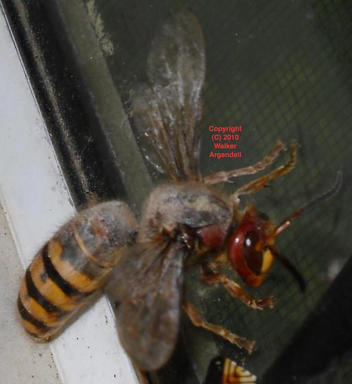 vespa queen