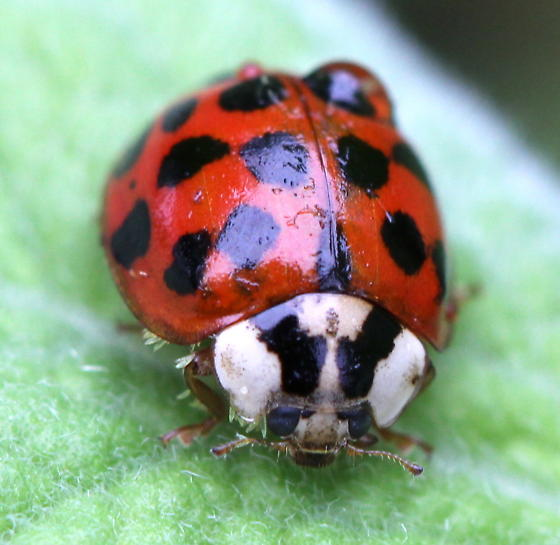Ladybug with fungus - Harmonia axyridis