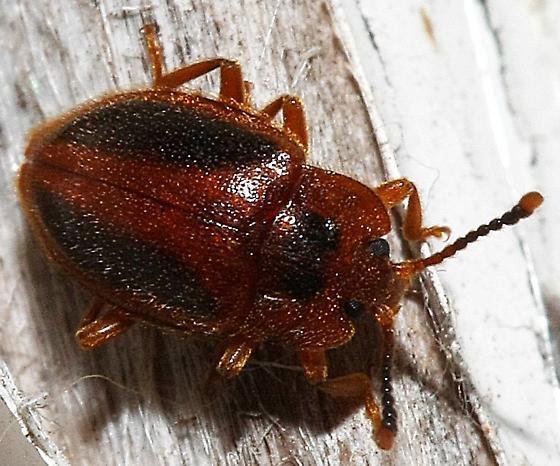 beetle ID, possibly Chrysomelidae - Epipocus punctatus