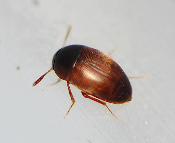Small Carrion Beetles - Ptomaphagus brevior