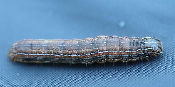 Thinly striped caterpillar - Mythimna unipuncta