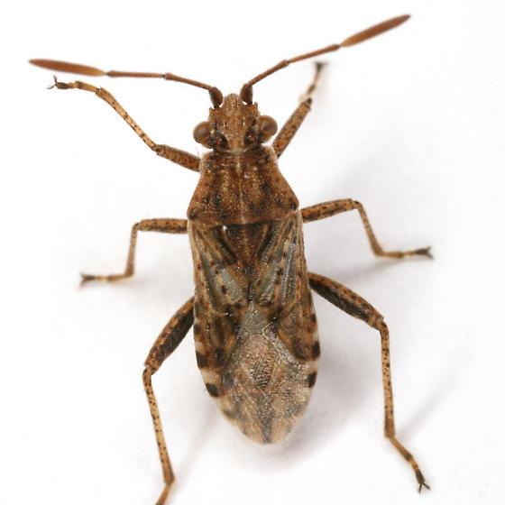 Stictopleurus punctiventris (Dallas) - Stictopleurus punctiventris