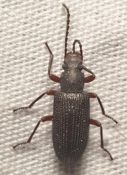 Tenebrionidae - Helops arizonensis