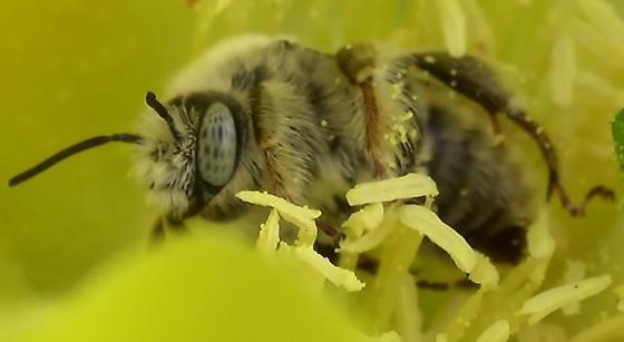 Chimney Bee Slightly Hairy - Diadasia - male