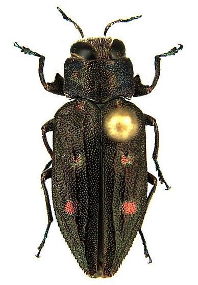 Chrysobothris sexsignata (Say) - Chrysobothris sexsignata - female