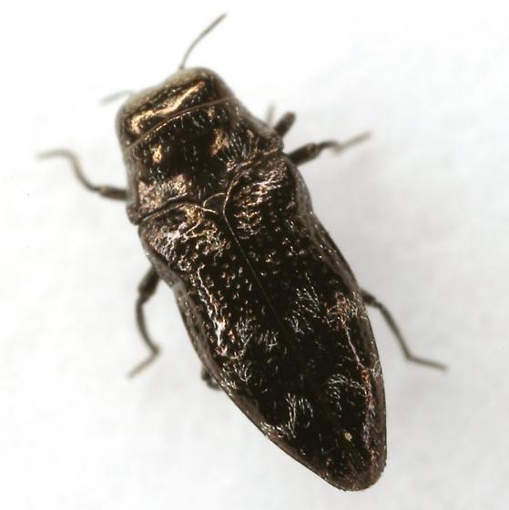 Taphrocerus